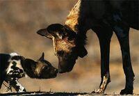 BastavoAdult&Pups