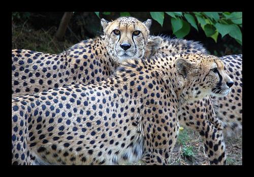 File:Cheetahs.jpg
