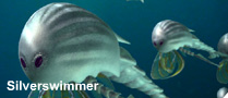 File:Silverswimmer.png