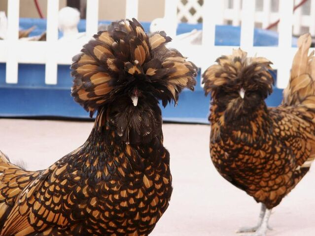 File:Afro Chickens by RAPlikeanANIMAL.jpg