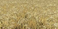 Barley (Farming Simulator 2013)