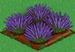 Lavender 100