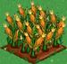 Corn extra100