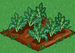 Broccoli 33
