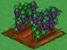 Grape 100