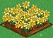 Daffodil extra100