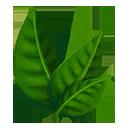 Black Tea Plant