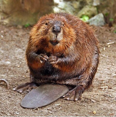 File:Beavers.jpg