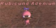 Rubicund Adenium