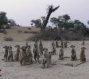 Wiki Fics suricatos dos