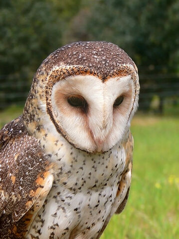 Bestand:Masked owl.jpg