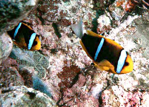 File:Amphiprion chrysopterus by NPS.jpg