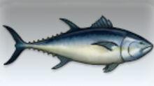 Bluefin Tuna