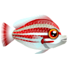 Candystripe Hogfish (1)