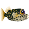 Reticulate Boxfish (1)