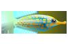 Longnose Filefish (1)