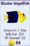 Bicolor Angelfish (store)