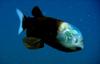 Barreleye Fish (rl)