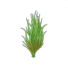 Cervicornis