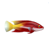 Cuban Hogfish (1)