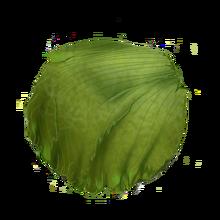 Lettuce Head