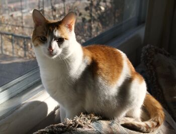Orange-and-white-cat