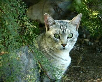 EVERGREEN Tabby Cat