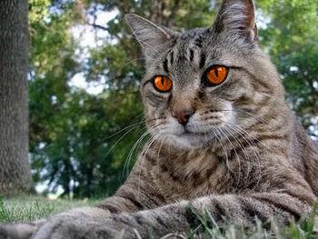 Tabby-cat-distinguish