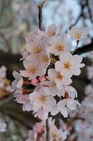 800px-2007 Sakura of Fukushima-e 007 rotated