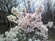 1280px-Apricot tree flowers