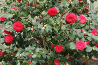 1280px-Camellia japonica-IMG 2051