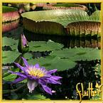 Flutterfact20130415Lillies