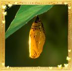 Flutterfact20140630Chrysalis