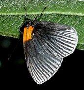 Hades Metalmark butterfly