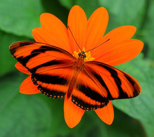 File:Real Banded Orange.jpg