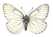 63 Black Veined White