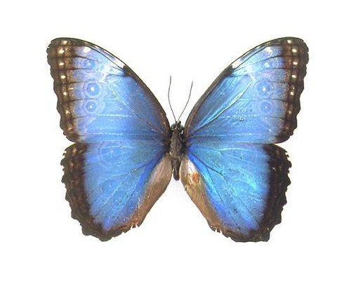 File:24 Blue Morpho.jpg