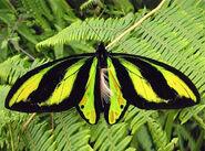 Tithonus Birdwing