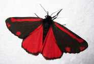 Cinnabar on white background cloned GF to A4 2012Low ResLow Res