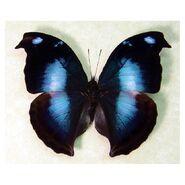 37 Great Blue Hookwing