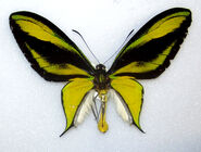 101 Southern Tailed Birdwing