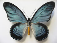 31 Giant Blue Swallowtai