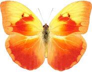 Orange-washed Sulphur