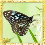 Flutterfact20150108BlueTiger
