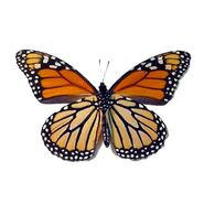 23 Monarch