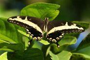 Papilio Andraemon