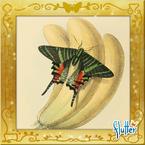 Flutterfact20160611Sloane'sDay-flyingMoth