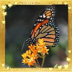 Flutterfact20140626MonarchGreatMigration