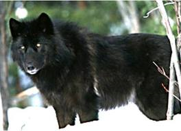 File:Wolfdire.png