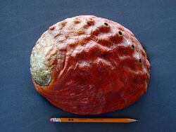 Red abalone shell1
